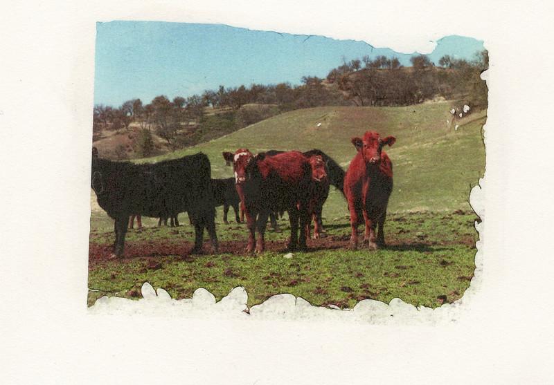 Cows 2 DASS