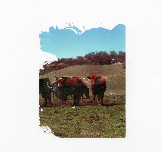 Cows 1 DASS