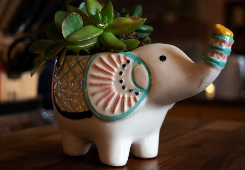 Bert the Elephant Succulent