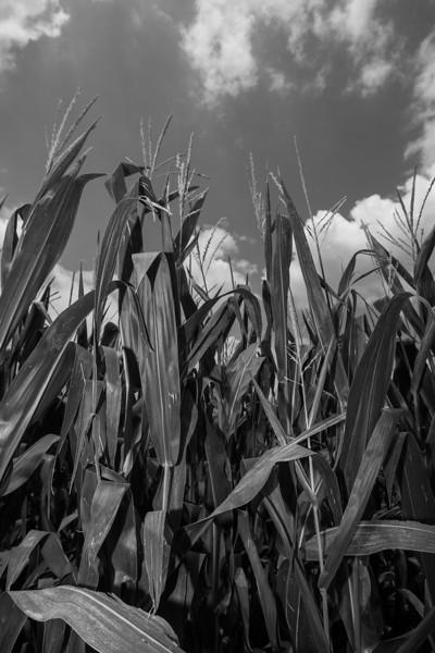 Corn northeast of Chickasha