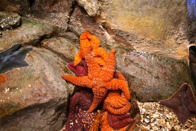 Bahama Sea Starfish