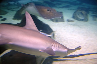 Hammerhead and Ray