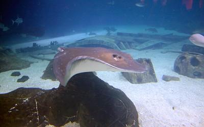Stingray at Adventure Aquarium