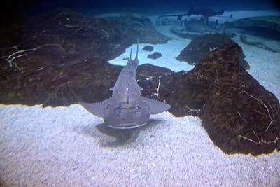Nurse Shark at Adventure Aquarium