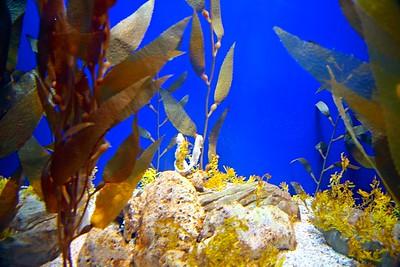 Seahorses at Adventure Aquarium