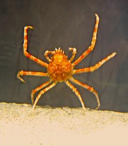 Japanese Spider Crab in Adventure Aquarium in Camden