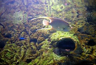 Angle Fish at the Adventure Aquarium in Camden NJ