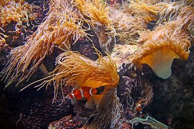 Clownfish at Adventure Aquarium