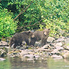 Grizzly cubs stay on the shore waiting for their swimming (fishing) mother