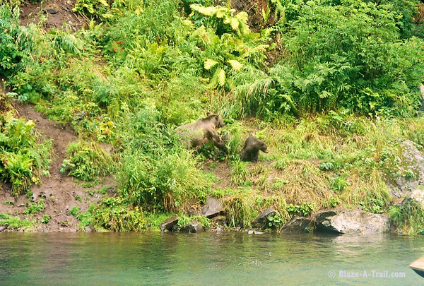 First sighting of Grizzly Bear with yearling cubs.
