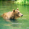 Grizzly Bear scouting for salmon