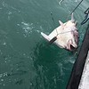 Halibut charter out in the Cook Inlet - Our group secured over 500+ pounds of fish.  After filet, approx. 40 pounds per person. Eric catches what appears to be a shark but is really a large halibut not wanting anything to do with the boat.