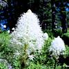 Bear Grass at Mt. Rainier NP