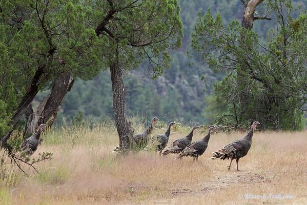Wild Turkeys along primitive forest roads to Blue, Arizona along the New Mexico border (October 2014)