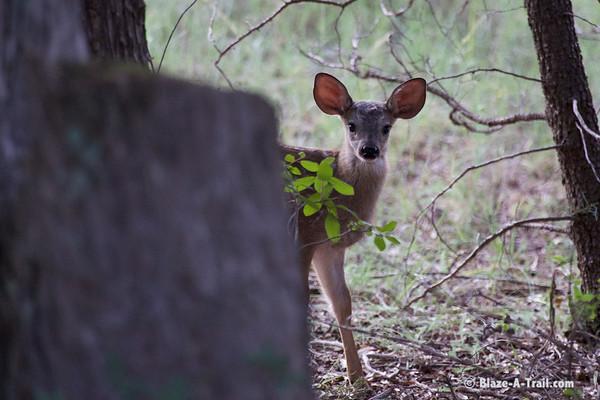 Pine-Strawberry Wildlife