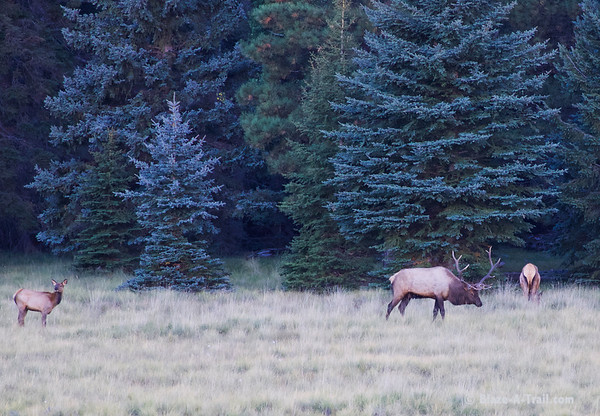 An elk herd with a 6x6 Bull.