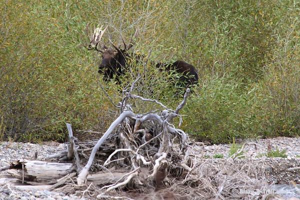 Bull Moose in Grand Teton National Park<br /> September 2009