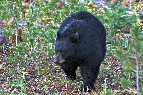 Male Black Bear<br /> Yellowstone National Park (September 17-20, 2009)