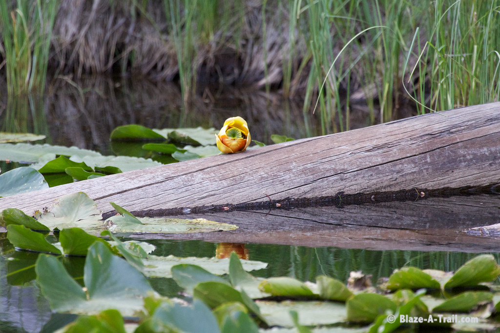 Lilly pads on the Continental Divide - Yellowstone National Park (August 2011)