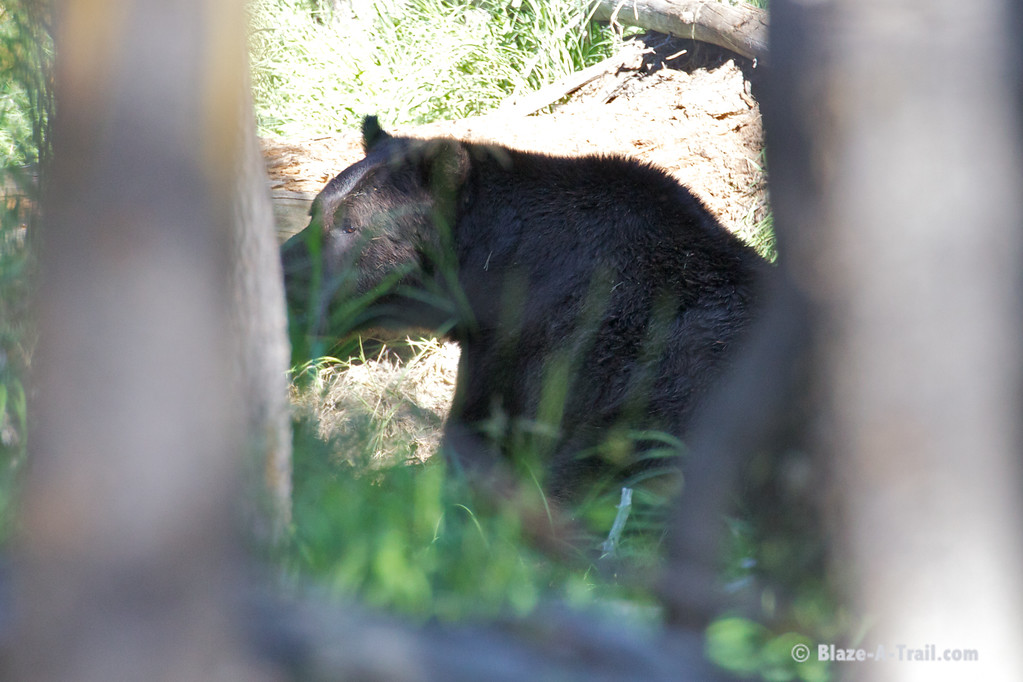 Grizzly Bear in Yellowstone National Park (August 2011)
