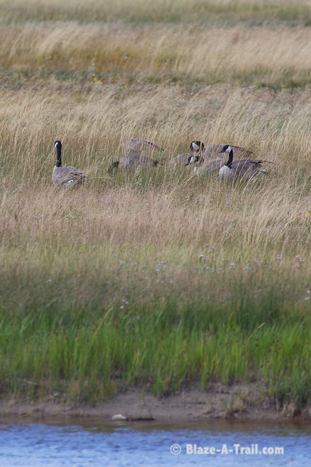 Canadian Geese - Yellowstone National Park (August 2011)