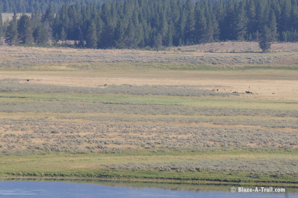 Wolf Pack and Grizzly Bear with cubs feeding on Buffalo Carcass - Yellowstone National Park (August 2011)