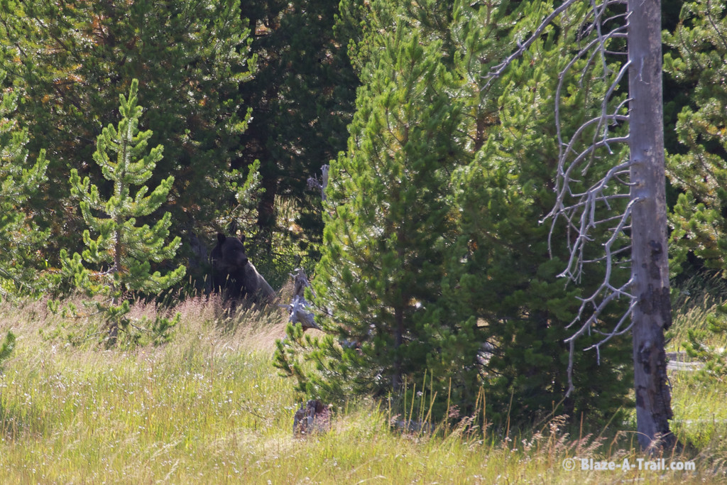 Grizzly Bear - Yellowstone National Park (August 2011)