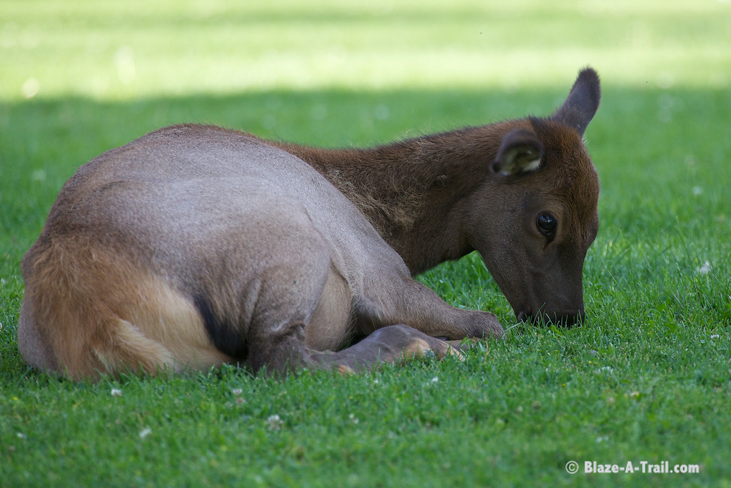 Elk - Yellowstone National Park (August 2011)
