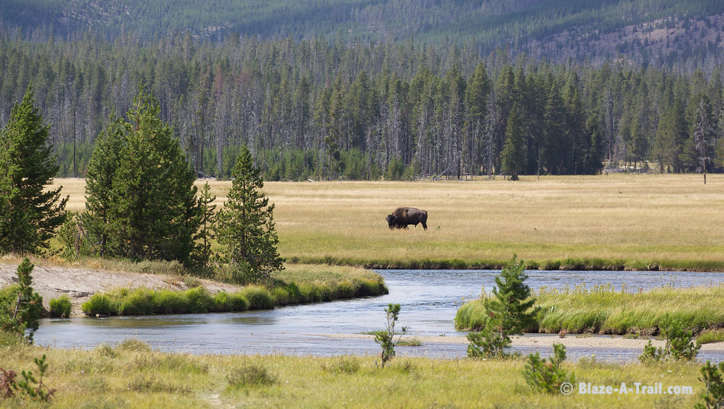 Great American Bison - Yellowstone National Park (August 2011)