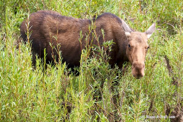 "Moose in Grand Teton National Park (August 2011) View Blog Post:  <a href=""http://Blaze-A-Trail.blogspot.com/2012/05/grand-teton-national-park.html"">http://Blaze-A-Trail.blogspot.com/2012/05/grand-teton-national-park.html</a>"