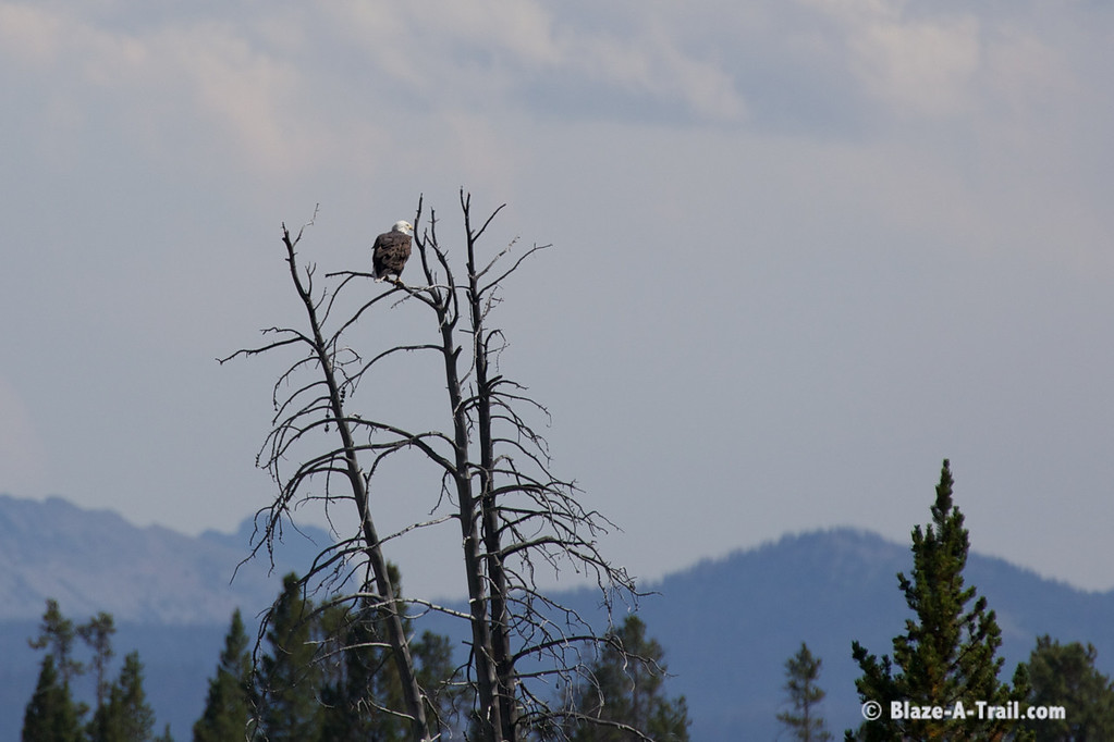 Bald Eagle - Yellowstone National Park (August 2011)
