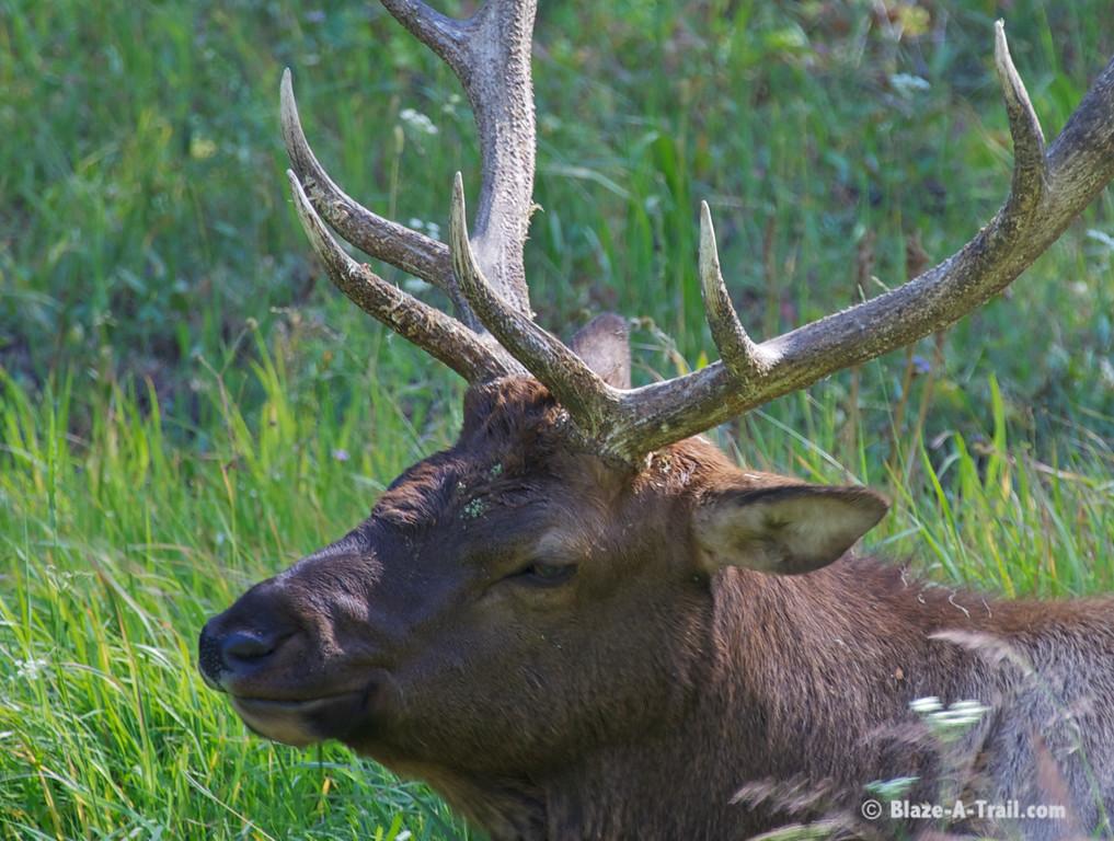 Bull Elk - Yellowstone National Park (August 2011)