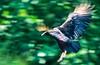Black vultures at overlook in Arkansas' Pea Ridge National Military Park - 7 - 72 ppi