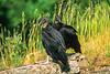 Black vultures at overlook in Arkansas' Pea Ridge National Military Park - 2 - 72 ppi