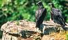 Black vultures at overlook in Arkansas' Pea Ridge National Military Park - 5 - 72 ppi-2