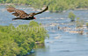 Turkey vulture over the Potomac River at Harpers Ferry, West Virginia-D3C1--0085 - 72 ppi-2