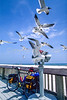 Seagulls inspecting bike helmet at beach at Gulf Shores, Alabama - 6 - 72 ppi