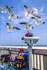 Seagulls inspecting bike helmet at beach at Gulf Shores, Alabama - 3-Edit - 72 ppi