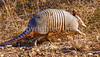 Texas Hill Country - Armadillo on the run - 300 dpi - crop-1309 - 72 ppi
