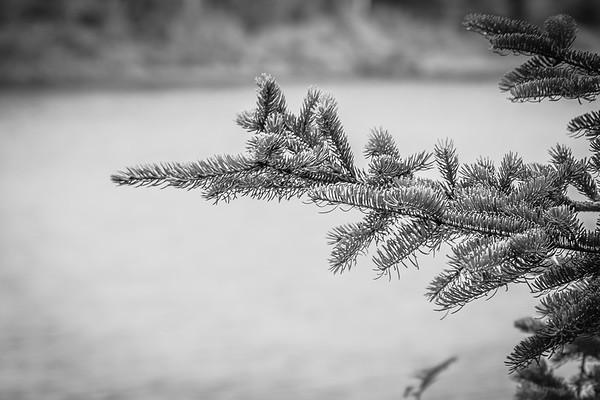 Dusty Pine