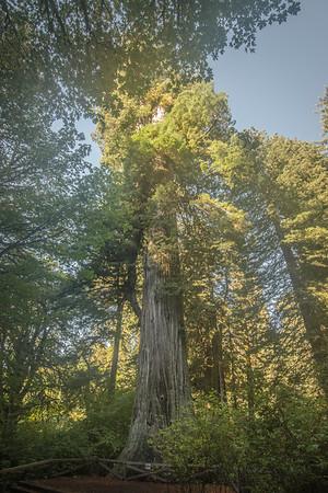 Tree Royalty