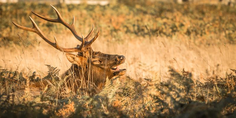 Yodelling Elk