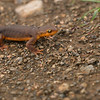California newt crawls along the ground on a rainy afternoon in Monte Bello