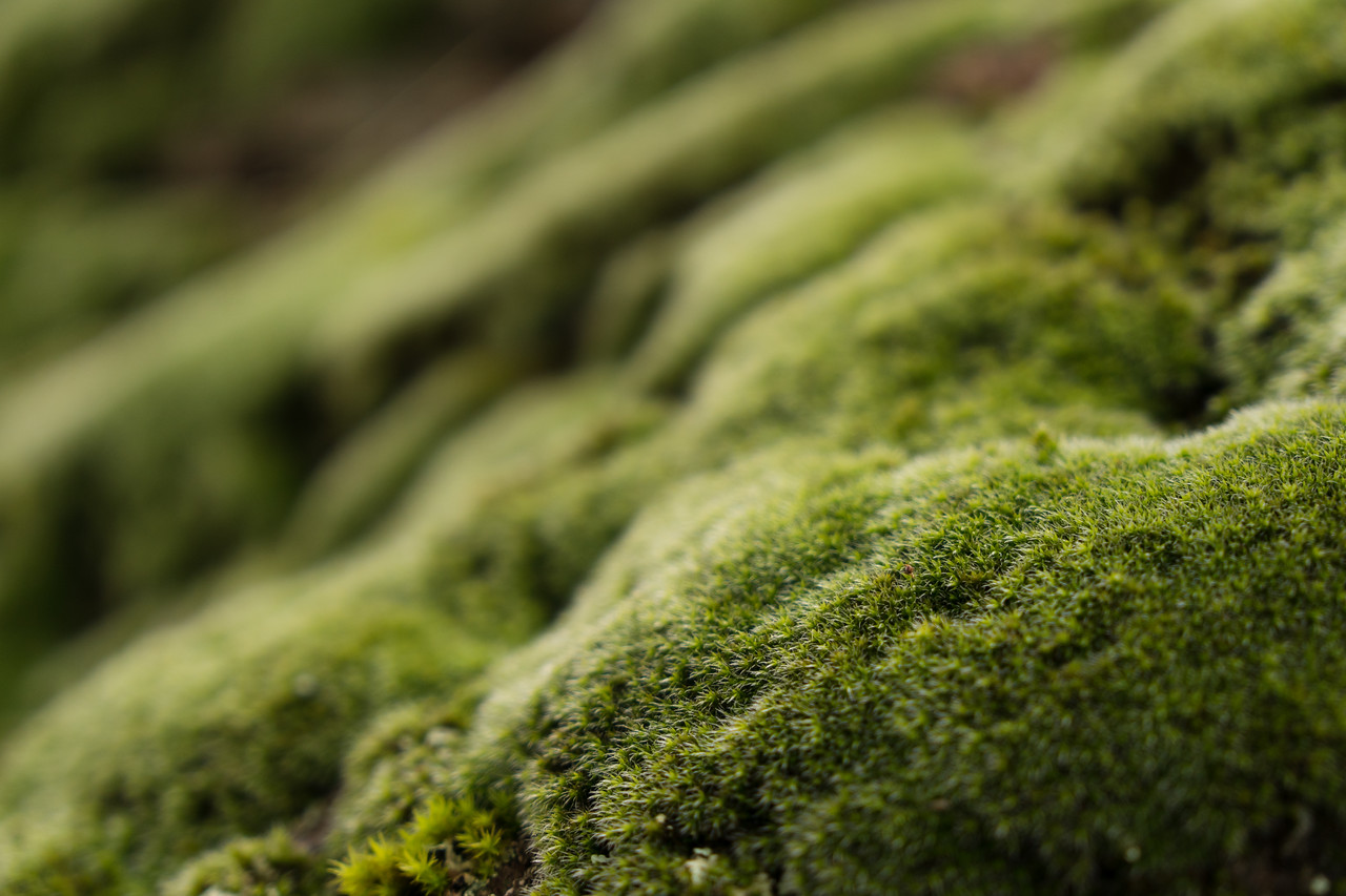 Macro close up shot of healthy moss growing on a rock during a rainy afternoon in California
