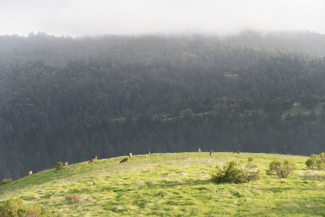 Mule deer walk on a grassy hill in California on a rainy afternoon in Monte Bello