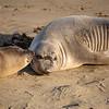 Young elephant seals recline on the beach along California's central coast