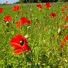 Red poppies growing in summer weather on a rural farm
