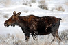 1936 Moose National Elk Refuge