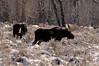 1965 Moose National Elk Refuge