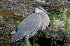 4522 Heron from kayak
